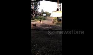 Stray dogs filmed chasing a wild bear in India