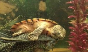 Rodeo Turtle Rides Fish