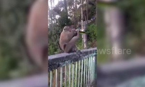Monkey downs bottle of beer in India