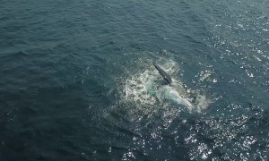 Whale and Calf Put on Spectacular Show