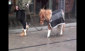 I want one! Girl takes tiny pony for walk through streets of Blackpool