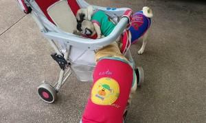 Pugs Play in Pram