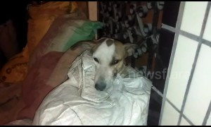 Hero stray dog shot and injured chasing off armed robbers in Delhi