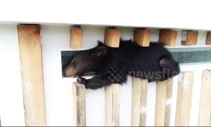 Bear cub rescued after getting stuck on 60ft high window ledge in search of food