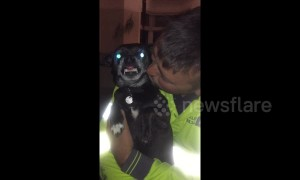 Chihuahua not at all happy to be getting kisses from his daddy
