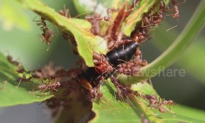 Weaver ants attack greater banded hornet