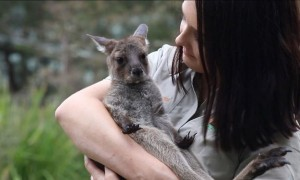Adorable baby kangaroo 'ROO-PAUL' latest member of Australian Reptile Park