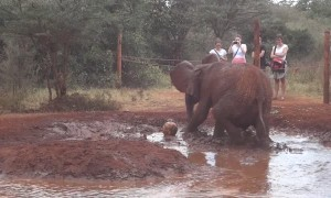 Baby elephant adorably plays soccer in a water hole