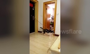 Energetic husky moonwalks on slippery floor