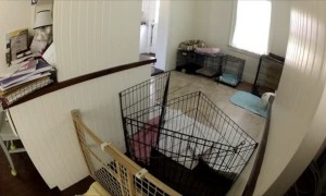 French Bulldog Escape Artist
