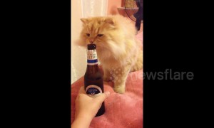 Curious cat wants to try her first taste of beer