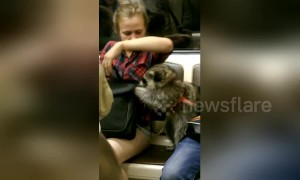 Raccoon on a leash in Moscow metro