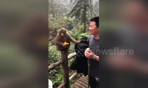 Cheeky monkey wipes dirty hand on tourist's clothes