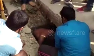 Dramatic footage shows cow being rescued from storm water drain in India