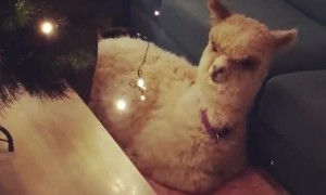 Pet Alpaca Not Sure About Christmas