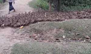 Huge Flock of Ducks Waddling on Path