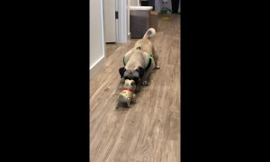 Pug faces off against robot counterpart. Guess who wins?