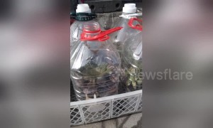 Woman keeps her plants in plastic bottles to protect against the cold