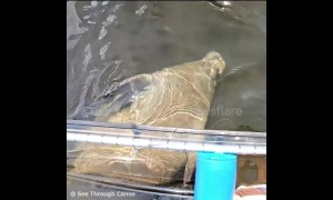 Baby manatee attempts to hold onto see-through canoe to get help swimming