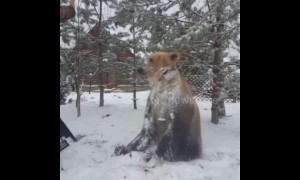 Friendly pet bear loves to play and roll around in the snow