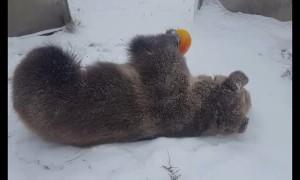 Bear Thoroughly Enjoys Snow Day