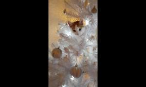Cheeky cat treats Christmas tree as her very own climbing pole