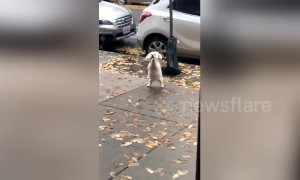 Dog's reaction to being left outside the coffee shop is too cute