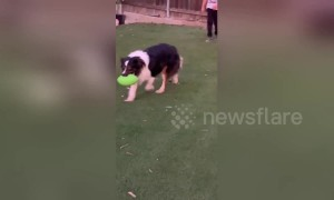 A four-legged quarterback? Aussie Shepherd intercepts American football