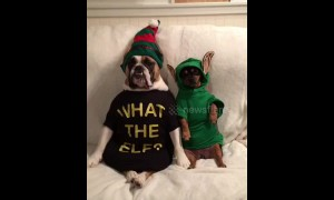 Not fooling anyone! Dogs dress up as Elf on the Shelf