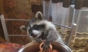 Raccoon's Paws are Too Tiny for Eggs