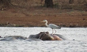 Heron bird unbelievably balances on the back of a hippo