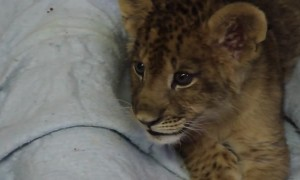 Lion cub lets out the cutest roar ever