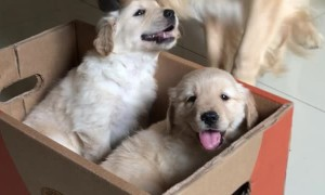 Golden Retriever Gets a Puppy Surprise