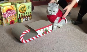 Cat in Santa outfit mounts Christmas sleigh