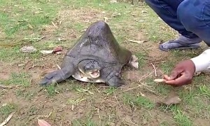 Turtle with huge hump worshipped as deity in India