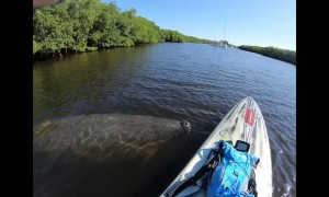 Friendly Manatee Visits Paddle Boarders
