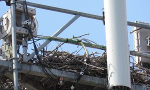 Eagle Makes Nest Atop Cell Phone Tower
