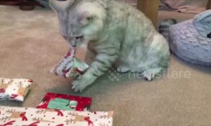 Clever cat unwraps his own Christmas present