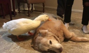 Duck is Protective of Pooch