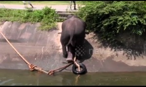 Trapped elephant escapes canal by use of ingenious rope ladder