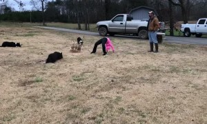 Dogs Lead Geese Through Tricky Obstacle Course