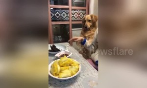 Polite golden retriever asks owner for meat from the dinner table