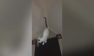 Cat Plays with Treadmill
