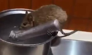 Rat caught drinking water in Chinese restaurant by the buffet table