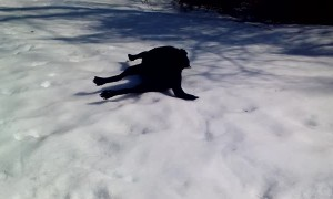 Labrador dog absolutely loves to body slide in the snow