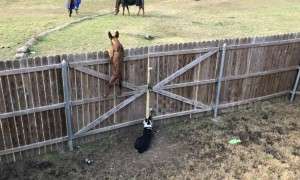 Dogs stare at grazing horses from behind fence