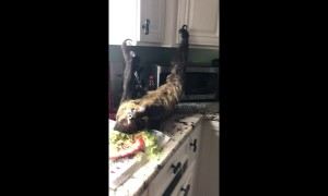 Adorable footage of pet sloth lying upside down eating salad