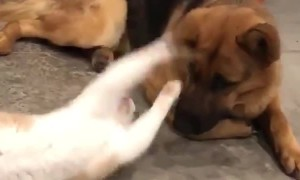 Cat Plays with Dog's Ear