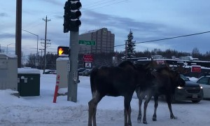 Moose Moseying Down the Median