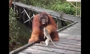 Orangutan grabs hold of thieving macaque that stole his banana